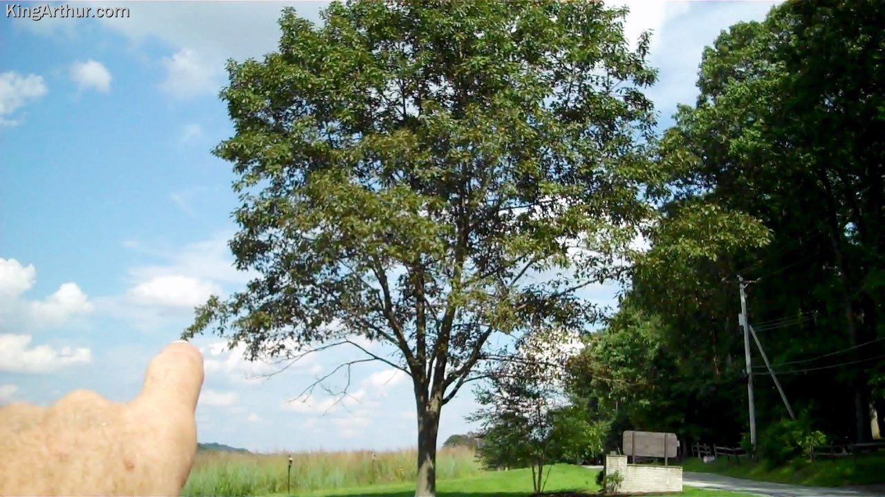 A Tree Suffering From Ozone Poisoning